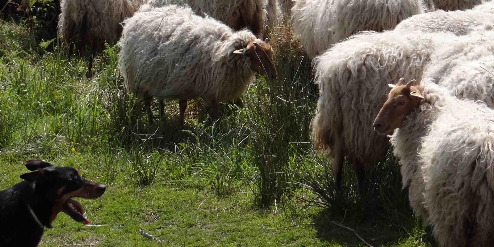 Levende grasmaaiers in De Landjes Schaapskudde weer in Marsdijk