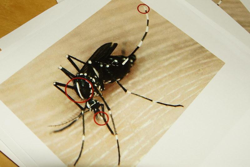 Aziatische Tijgermug aangetroffen in Assen
