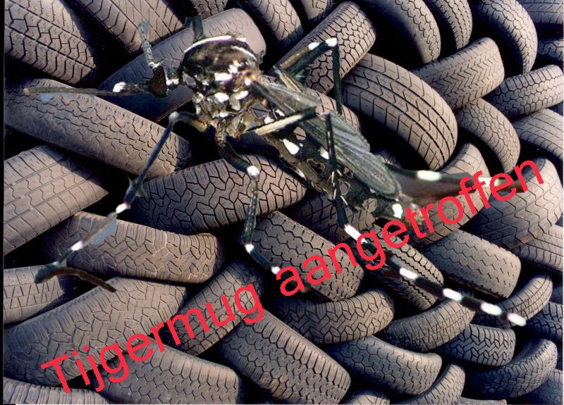 Tijgermug aangetroffen bij Asser bandenhandel