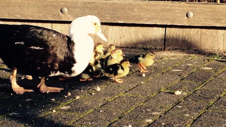 Moedereend waggelt met dertien kuikens over straat in Assen