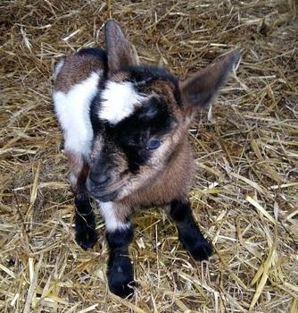 geitjes geboren 2016