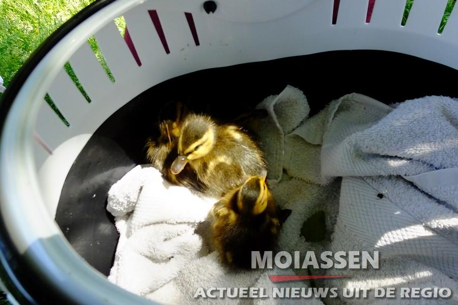 Brandweer Assen assisteert Dierenambulance Drenthe om 4 jonge kuikens in veiligheid te brengen
