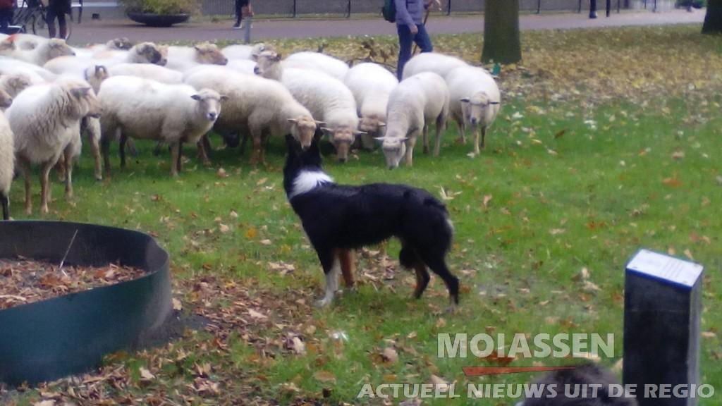 245 schapen loopt door binnenstad van Assen (Update Foto's)