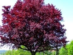 Vogelbuurt plant Prunus terug